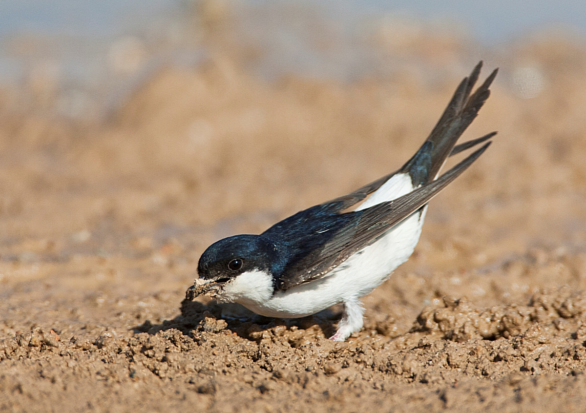 AGAMI Huiszwaluw Common House Martin Delichon urbicum Marc Guyt 88541