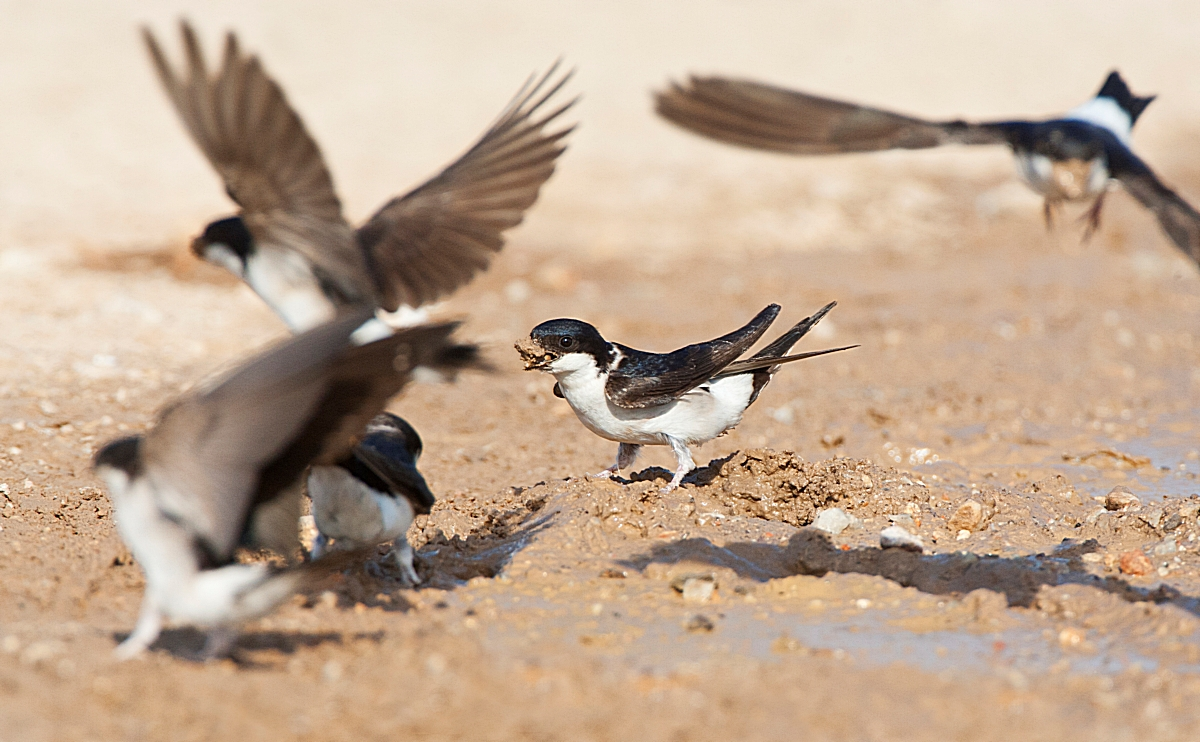 AGAMI Huiszwaluw Common House Martin Delichon urbicum Marc Guyt 88720